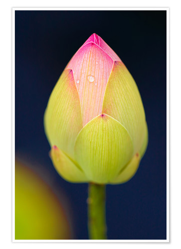 Póster Bud of the lotus