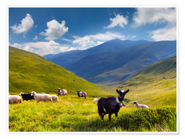 Póster  Herd of sheep and goats in the mountains