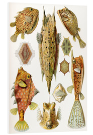 Forex  Ostraciontes cowfish species - Ernst Haeckel