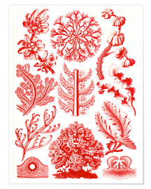 Póster  Red algae and sea grass or Florideae - Ernst Haeckel