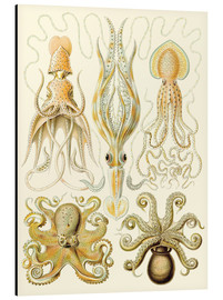 Aluminio-Dibond  Squid and octopi - Ernst Haeckel