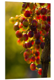 Cuadro de PVC  Grape vine in the evening sun - Edith Albuschat