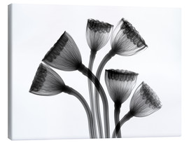 Lienzo  Lotus seedheads, X-ray