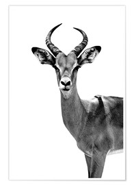Póster Safari Profile Collection - Antelope White Edition