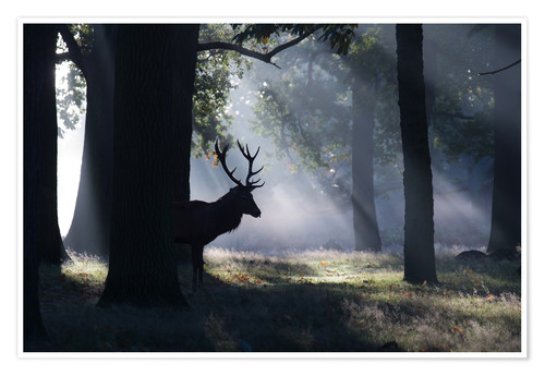 Póster Stag in the morning light