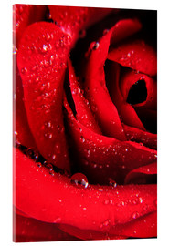 Cuadro de metacrilato  Red rose with water drops