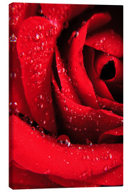 Lienzo  Red rose with water drops
