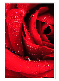Póster  Red rose with water drops