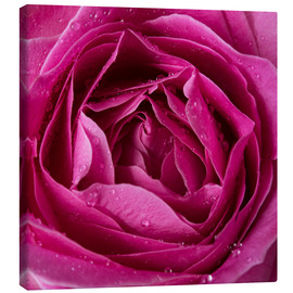 Lienzo  Pink rose with water drops