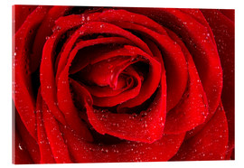 Cuadro de metacrilato  Red rose with drops of water