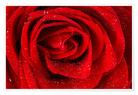 Póster Red rose with drops of water