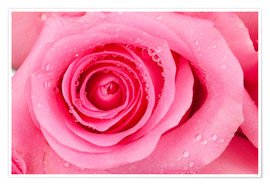 Póster  Pink rose blossom with dew