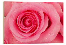 Cuadro de madera  Pink rose blossom with dew