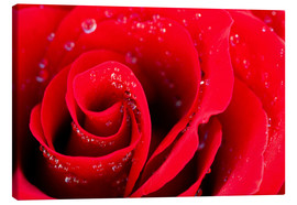 Lienzo  Red rose bloom with dew drops