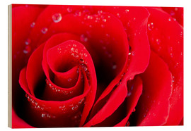 Madera  Red rose bloom with dew drops