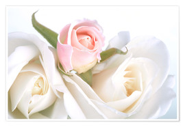 Póster  Roses on a white background