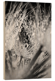 Madera  Dandelion with water drops