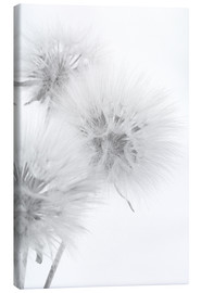 Lienzo  Fluffy dandelions on white background