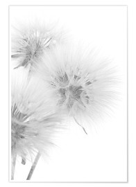 Póster  Fluffy dandelions on white background