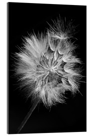 Metacrilato  Dandelion on black background