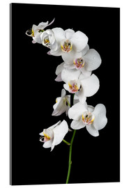 Cuadro de metacrilato  White orchid on a black background