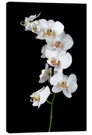 Lienzo  White orchid on a black background