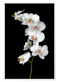 Póster  White orchid on a black background