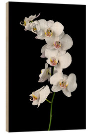 Cuadro de madera  White orchid on a black background