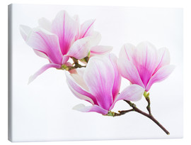 Lienzo  Branch of pink magnolia
