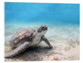 Cuadro de metacrilato  Green sea turtle