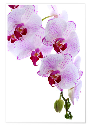Póster Orchid branch
