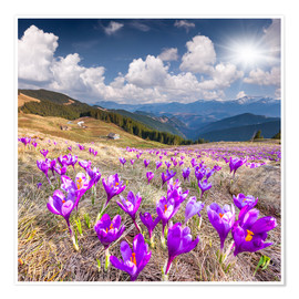 Póster Crocuses in a mountain landscape