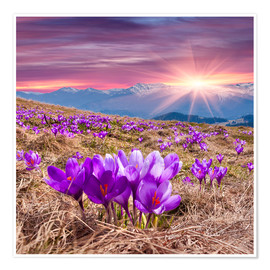 Póster Crocuses in spring in the mountains