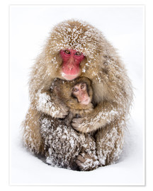 Póster Japanese snow monkeys