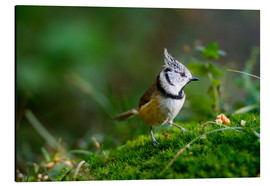 Cuadro de aluminio  Cute tit standing on the forest ground - Peter Wey
