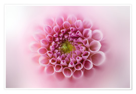 Póster Pink and soft dahlia