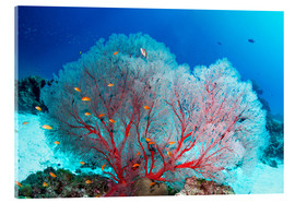 Cuadro de metacrilato  Melithaea sea fan and lyretail anthias