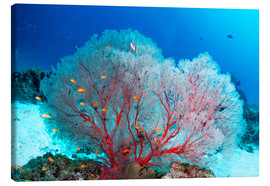 Lienzo  Melithaea sea fan and lyretail anthias