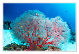 Póster  Melithaea sea fan and lyretail anthias