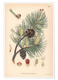 Póster  structures of the Scots pine (Pinus sylvestris)