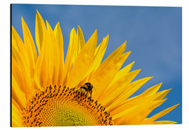 Cuadro de aluminio  Sunflower against blue sky - Edith Albuschat
