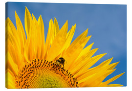 Lienzo  Sunflower against blue sky - Edith Albuschat