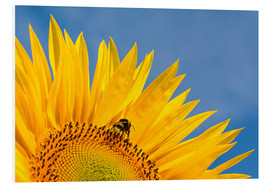 Cuadro de PVC  Sunflower against blue sky - Edith Albuschat
