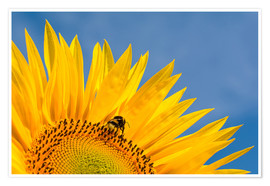 Póster  Sunflower against blue sky - Edith Albuschat
