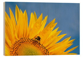 Cuadro de madera  Sunflower against blue sky - Edith Albuschat