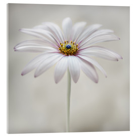 Cuadro de metacrilato  Cape daisy - Mandy Disher
