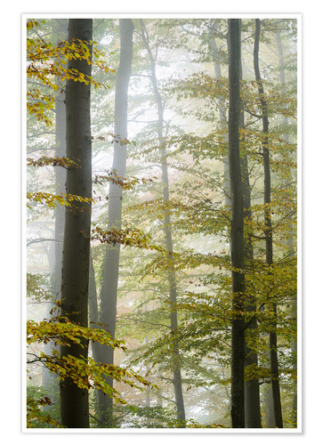 Póster Foggy forest in autumn foliage