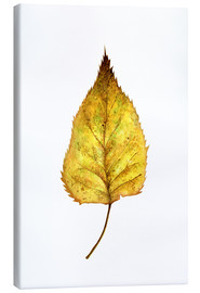 Lienzo  Birch Leaf - RNDMS