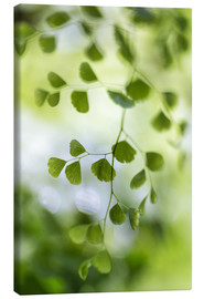 Lienzo  Maidenhair fern - Mandy Disher