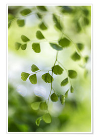 Póster  Maidenhair fern - Mandy Disher